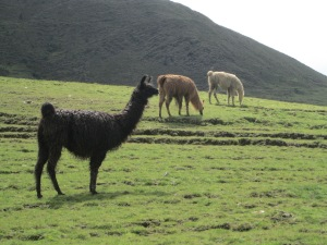 Llamas in a Variety of Colors