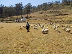 Doña Antonia Chasing After Her Flock of Sheep